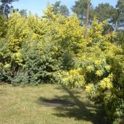 Les Mimosas en fleur